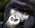 First Gorilla Born in Captivity